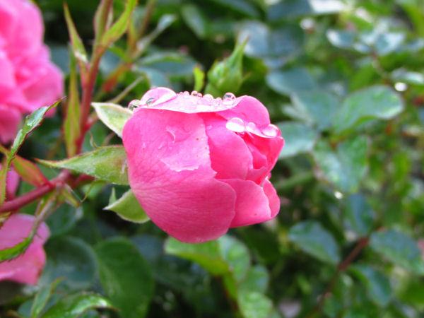 rose garden (5)