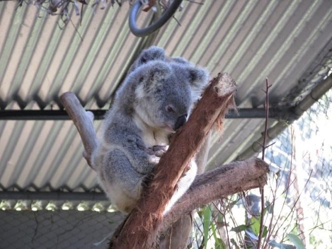 Koala reservate (8)