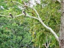 Kookaburra (1)